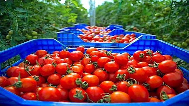 """المغرب الخامس عالميا في تصدير """"الطماطم"""".. والوجهة الأولى فرنسا"""