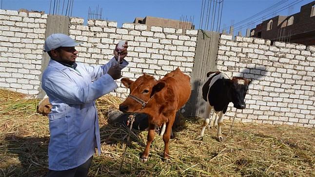 """""""أونسا"""": تلقيح أزيد من 15.5 مليون رأس من الماشية ضد الأمراض المعدية"""