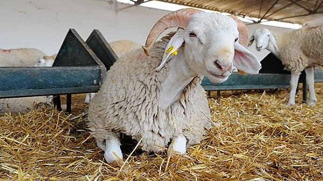 """أونسا"""": عدد الماشية المرقمة يتجاوز ضعف احتياجات عيد الأضحى"""